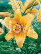 Lilium asiatico arancio N1902646