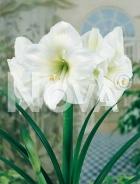 Amaryllis bianco N1902681