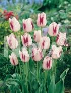 Tulipano semplice miscuglio N1902739