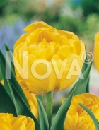 Tulipano doppio giallo N1902851