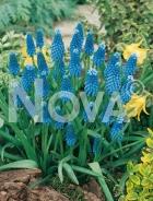 Muscari blu N1902871