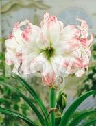 Amaryllis doppio striato N1902889