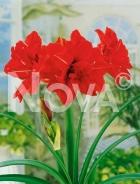 Amaryllis doppio rosso N1902945