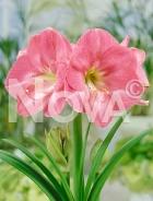 Amaryllis rosa N1902951