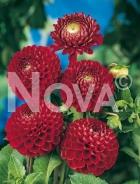 Dahlia pompon rossa N1903097