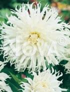 Dahlia cactus bianca N1903128