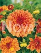 Dahlia decorativa arancio N1903205