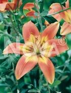 Lilium asiatico arancio N1903252