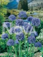 Allium caeruleum N1903289