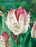 Tulipano pappagallo bianco-rosa N1903392