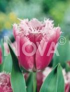Tulipano crispa rosa N1903401