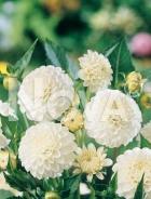 Dahlia pompon bianca N1903628