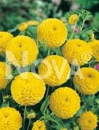 Dahlia pompon gialla N1903730