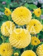 Dahlia pompon gialla N1903737