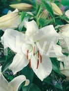 Lilium orientale bianco N1903831