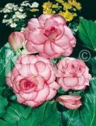 Begonia picotee N1903936