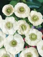 Anemone semplice bianca N1904005