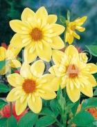 Dahlia collaretto gialla N1904111