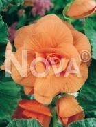 Begonia semplice arancio N1904216