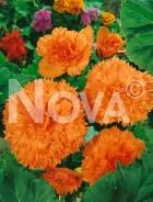 Begonia fimbriata arancio N1904220