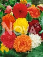 Begonia fimbriata miscuglio N1904221