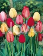 Tulipano darwin hybrid miscuglio N1904410