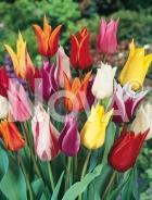 Tulipano fior di giglio miscuglio N1904446