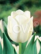 Tulipano triumph bianco N1904489