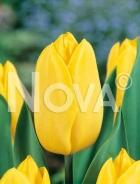 Tulipano triumph giallo N1904517