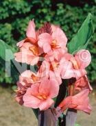 Canna indica rosa N1904740
