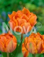 Tulipano doppio arancio N1905646