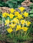 Iris danfordiae giallo N1906012