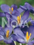 Crocus viola N1906331