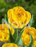 Tulipano doppio giallo N1906672