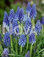 Muscari blu N1906794