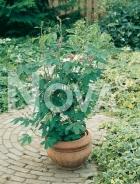 Mimosa pudica o sensitiva N2200431