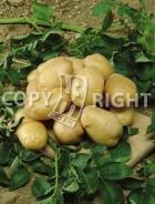 Patata bianca P001