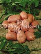 Patata rossa P010