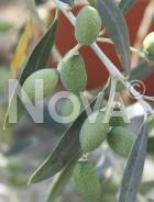 Oliva verde RAM 057