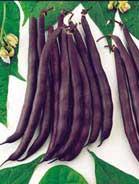 Haricot violet