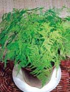 Asparago ornamentale