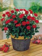 Rosa in miniatura