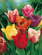 Tulipano crispa