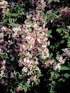Weigelia rosea variegata