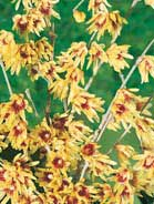 Chimomanthus praecox