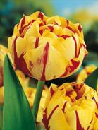 Tulipano doppio