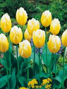 Tulipano fosteriana
