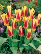 Tulipano kaufmaniana