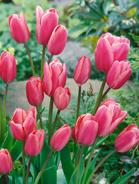 Tulipano multiflora