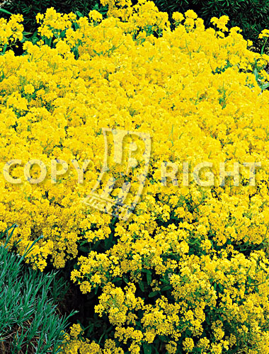 alisso giallo
